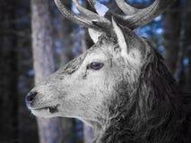 Άλκες στα δάση Στοκ Φωτογραφίες
