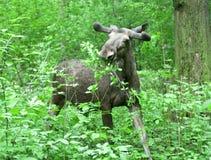Άλκες στο δάσος Στοκ φωτογραφία με δικαίωμα ελεύθερης χρήσης