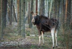 Άλκες στο φυσικό περιβάλλον Στοκ Φωτογραφία