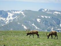 Άλκες στο δύσκολο εθνικό πάρκο βουνών Στοκ φωτογραφία με δικαίωμα ελεύθερης χρήσης