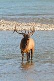 Άλκες ταύρων Bugling, canadensis cervus Στοκ φωτογραφία με δικαίωμα ελεύθερης χρήσης