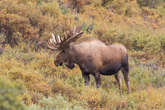 Άλκες της Αλάσκας Yukon Bull στο βελούδο Στοκ Φωτογραφίες