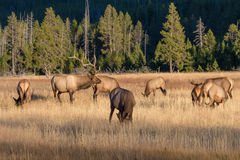 Άλκες του Bull με τις αγελάδες στην αποτελμάτωση Στοκ εικόνες με δικαίωμα ελεύθερης χρήσης