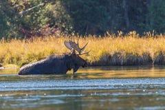 Άλκες του Bull στον ποταμό Στοκ Φωτογραφία