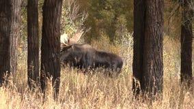 Άλκες του Bull το φθινόπωρο απόθεμα βίντεο