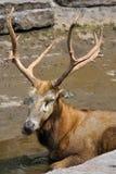 Άλκες του Bull Στοκ φωτογραφία με δικαίωμα ελεύθερης χρήσης