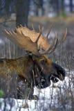 Άλκες του Bull Στοκ φωτογραφίες με δικαίωμα ελεύθερης χρήσης