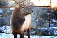 Άλκες του Bull Στοκ Εικόνες
