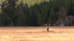 Άλκες του Bull Rutting απόθεμα βίντεο
