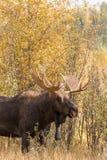 Άλκες του Bull Shiras το φθινόπωρο Στοκ φωτογραφία με δικαίωμα ελεύθερης χρήσης