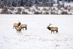Άλκες το χειμώνα Στοκ εικόνα με δικαίωμα ελεύθερης χρήσης