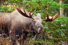 Άλκες Bull, Αλάσκα, ΗΠΑ Στοκ φωτογραφίες με δικαίωμα ελεύθερης χρήσης