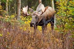 Άλκες Bull - Αλάσκα, ΗΠΑ Στοκ εικόνες με δικαίωμα ελεύθερης χρήσης
