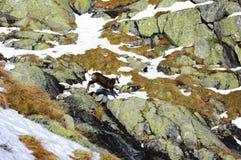 Άλματα αιγάγρων βουνών πέρα από τους βράχους Στοκ Εικόνα