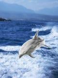 Άλματα δελφινιών Στοκ εικόνες με δικαίωμα ελεύθερης χρήσης
