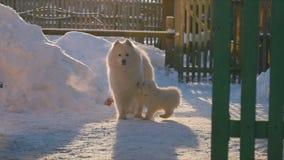 Άλματα σκυλιών Samoyed φιλμ μικρού μήκους