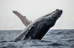 Άλματα φαλαινών Humpback από το νερό όμορφο άλμα Μια σπάνια φωτογραφία Μαδαγασκάρη Νησί του ST Mary ` s Στοκ Φωτογραφία