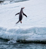 Άλματα Gentoo penguin από το νερό επάνω στο έδαφος Στοκ Εικόνες