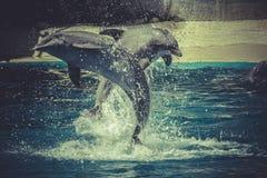 Άλμα δελφινιών από το νερό στη θάλασσα Στοκ Εικόνες