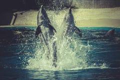 Άλμα δελφινιών από το νερό στη θάλασσα Στοκ φωτογραφία με δικαίωμα ελεύθερης χρήσης