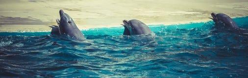 Άλμα δελφινιών από το νερό στη θάλασσα Στοκ εικόνα με δικαίωμα ελεύθερης χρήσης