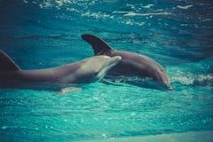 Άλμα δελφινιών από το νερό στη θάλασσα Στοκ εικόνες με δικαίωμα ελεύθερης χρήσης