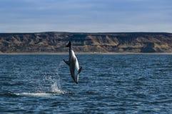 Άλμα δελφινιών, Παταγωνία Στοκ φωτογραφία με δικαίωμα ελεύθερης χρήσης