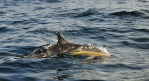 άλμα δελφινιών Το δελφίνι εμφανίζεται από το νερό Το μακρύς-ράμφος Στοκ φωτογραφία με δικαίωμα ελεύθερης χρήσης