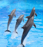 Άλμα δελφινιών Bottlenose Στοκ εικόνα με δικαίωμα ελεύθερης χρήσης