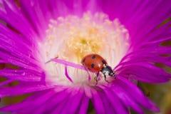 Άλμα Πολωνού ενός ladybug Στοκ εικόνες με δικαίωμα ελεύθερης χρήσης