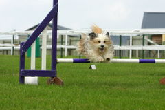 Άλμα σκυλιών Στοκ φωτογραφία με δικαίωμα ελεύθερης χρήσης