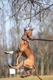 άλμα σκυλιών Στοκ Φωτογραφίες