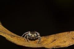 Άλμα της αράχνης στο μαύρο υπόβαθρο Στοκ Εικόνες