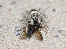 Άλμα της αράχνης (cingulatus Salticus) με το θήραμά του Στοκ Φωτογραφία