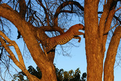Άλμα του δέντρου Lep [ard Στοκ Φωτογραφίες