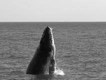 Άλμα φαλαινών Στοκ Εικόνες