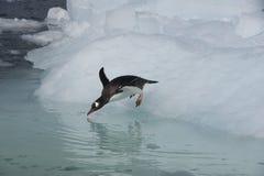 Άλμα Penguin Gentoo από τον πάγο Στοκ Εικόνες