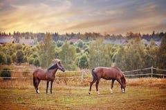Άλογα κάστανων που βόσκουν στη μάντρα Στοκ Εικόνα