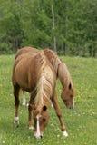 Άλογα κάστανων που καλύπτουν με χορτάρι στο λιβάδι Στοκ Φωτογραφία