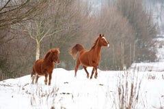 Άλογα κάστανων της Νίκαιας που τρέχουν το χειμώνα Στοκ φωτογραφίες με δικαίωμα ελεύθερης χρήσης