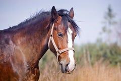 Άλογα κάστανων Στοκ Φωτογραφία