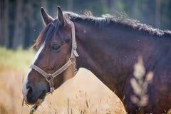 Άλογα κάστανων Στοκ Εικόνες