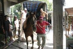 Άλογα και χειριστής αλόγων σόλο Στοκ φωτογραφία με δικαίωμα ελεύθερης χρήσης