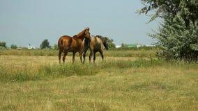 Άλογα που βόσκουν σε ένα λιβάδι απόθεμα βίντεο