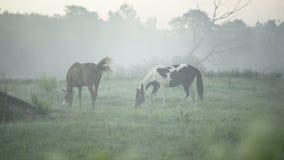 Άλογα που βόσκουν σε ένα ομιχλώδες λιβάδι απόθεμα βίντεο