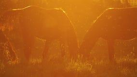 Άλογα που βόσκουν σε Backlight στο ηλιοβασίλεμα σε αργή κίνηση φιλμ μικρού μήκους