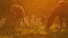 Άλογα που βόσκουν σε Backlight στο ηλιοβασίλεμα σε αργή κίνηση 2 φιλμ μικρού μήκους