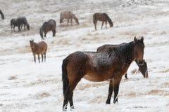 Άλογα που βόσκουν στα βουνά thes το χειμώνα Στοκ φωτογραφία με δικαίωμα ελεύθερης χρήσης