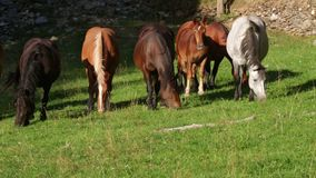 Άλογα που βόσκουν στην ελευθερία, στα Πυρηναία της Καταλωνίας (ΙΣΠΑΝΙΑ) απόθεμα βίντεο