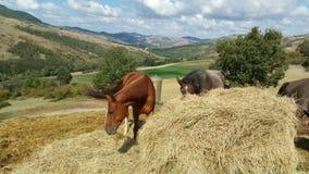 Άλογα που βόσκουν στους τομείς Στοκ Φωτογραφία